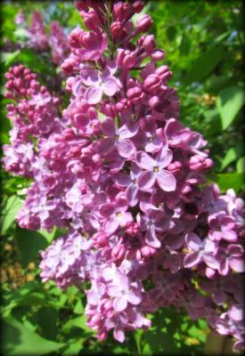 lilacs, mauve,flowers, spring flowers,Ccanadian flowers