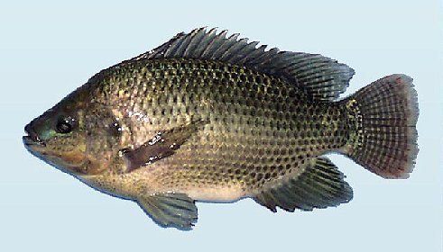 Tilapia cichlid genus tilapia oreochromis niloticus for Tilapia not real fish