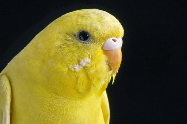 Foto Burung Parkit Holland Terbaik