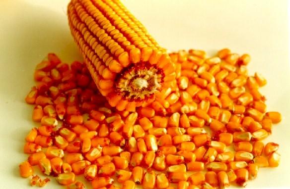 grãos de milho