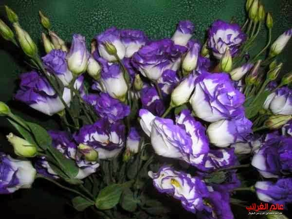 الزهور، الورود، أغلى الورود، أجمل الورود