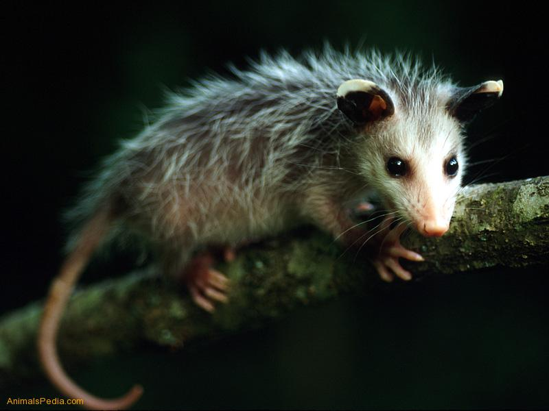 funny baby opossum wallpaper funny animal
