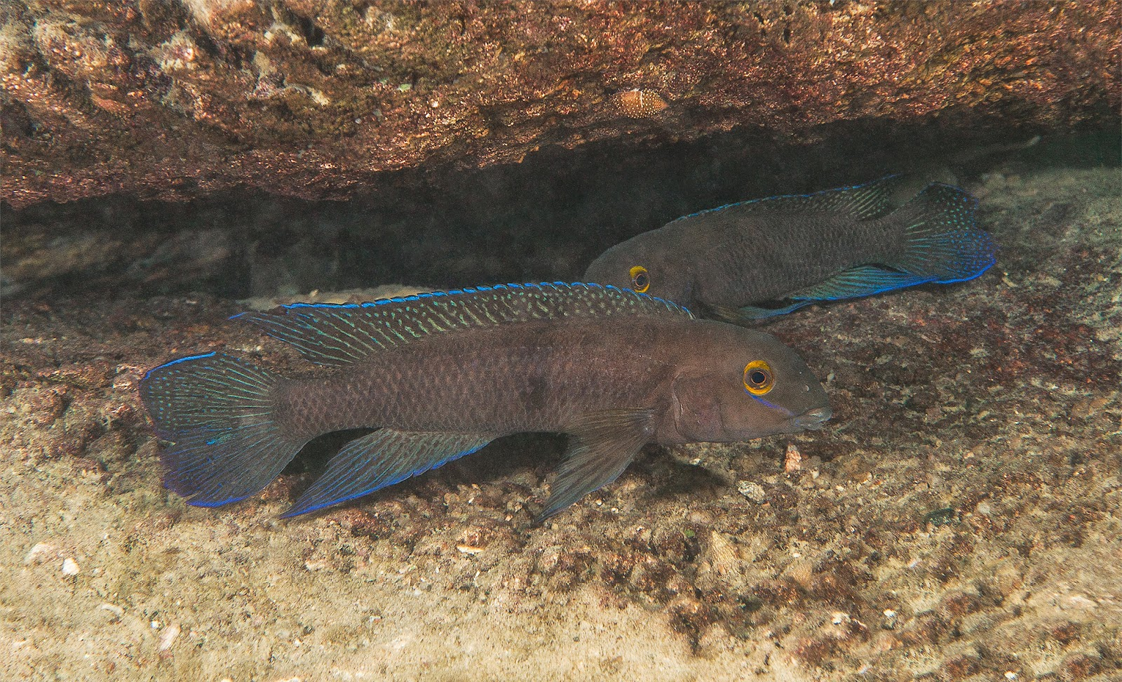 Sciency thoughts a new species of cichlid fish from lake for Lake tanganyika fish