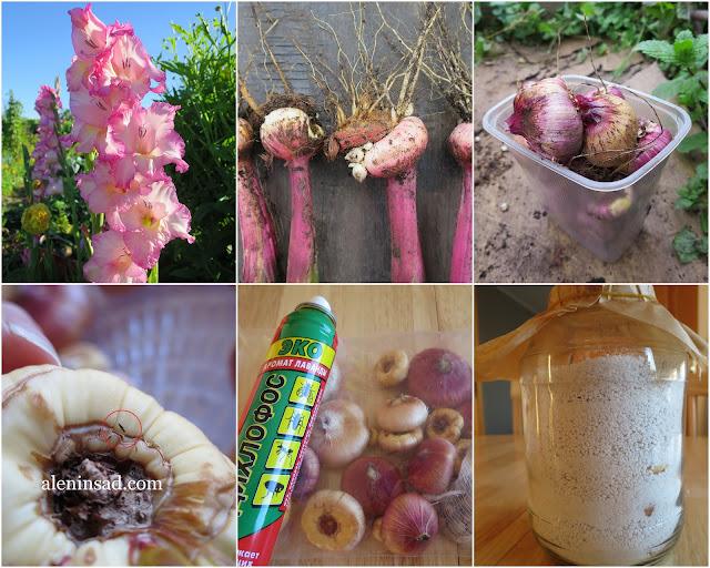 клубнелуковицы, луковицы, гладиолусы, Присцилла, дихлофос, перлит, выкопка, хранение, закладка на хранение,