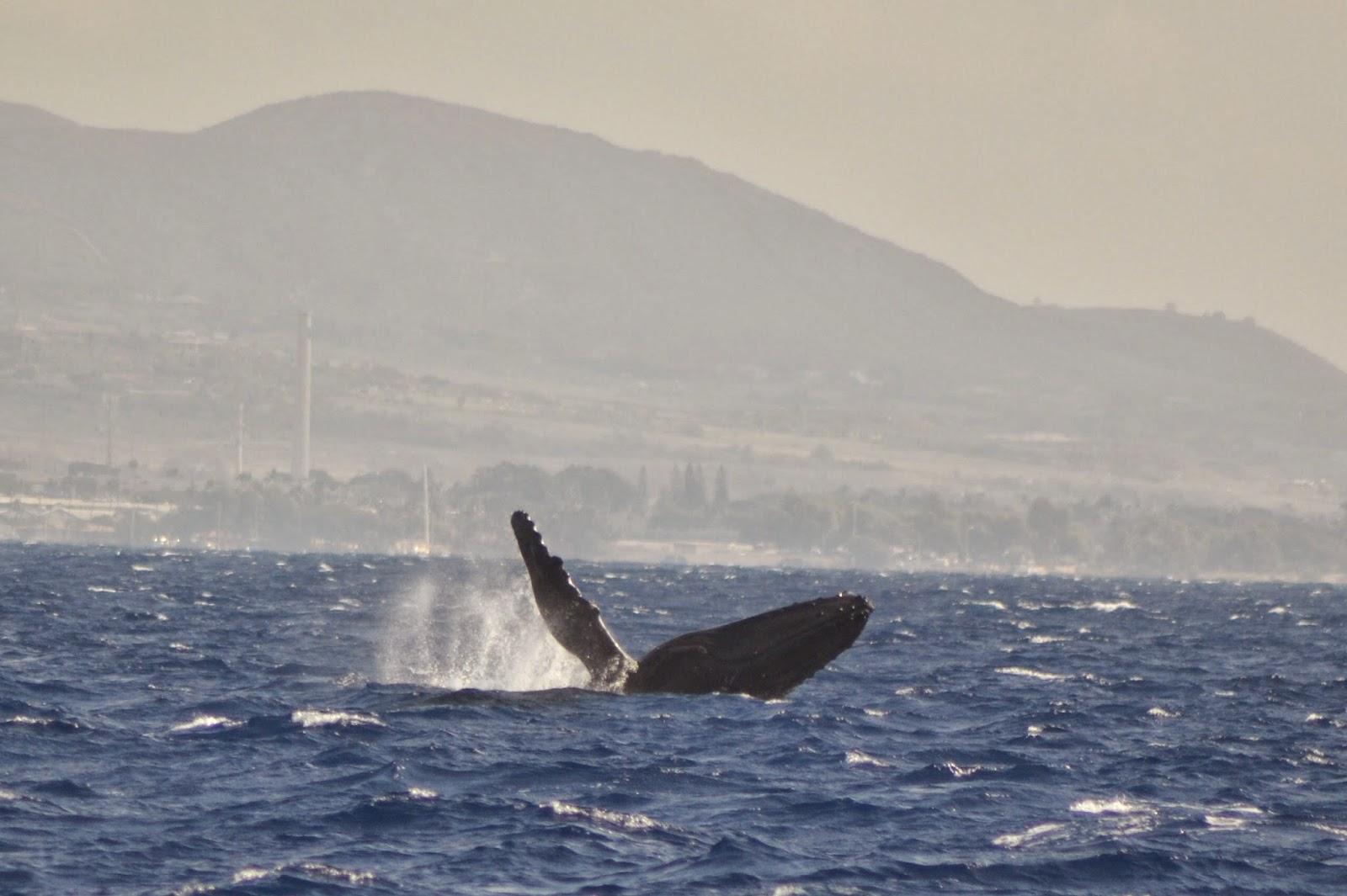 Whale Watching Maui | Humpback Whales