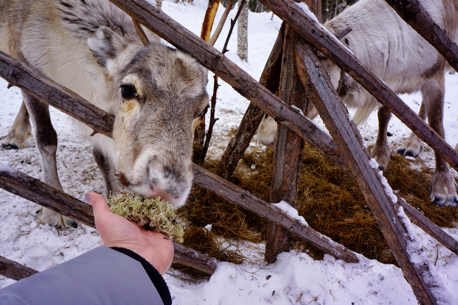 feeding reindeer lichen
