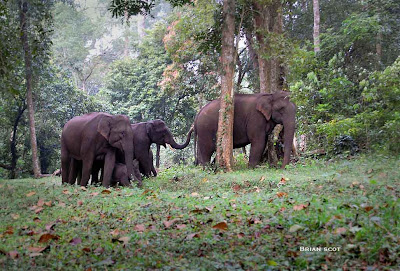 Herd of Asian Elephants