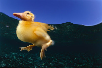 duckling_underwater