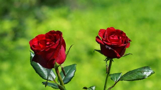 hoa hồng tình yêu đẹp nhất