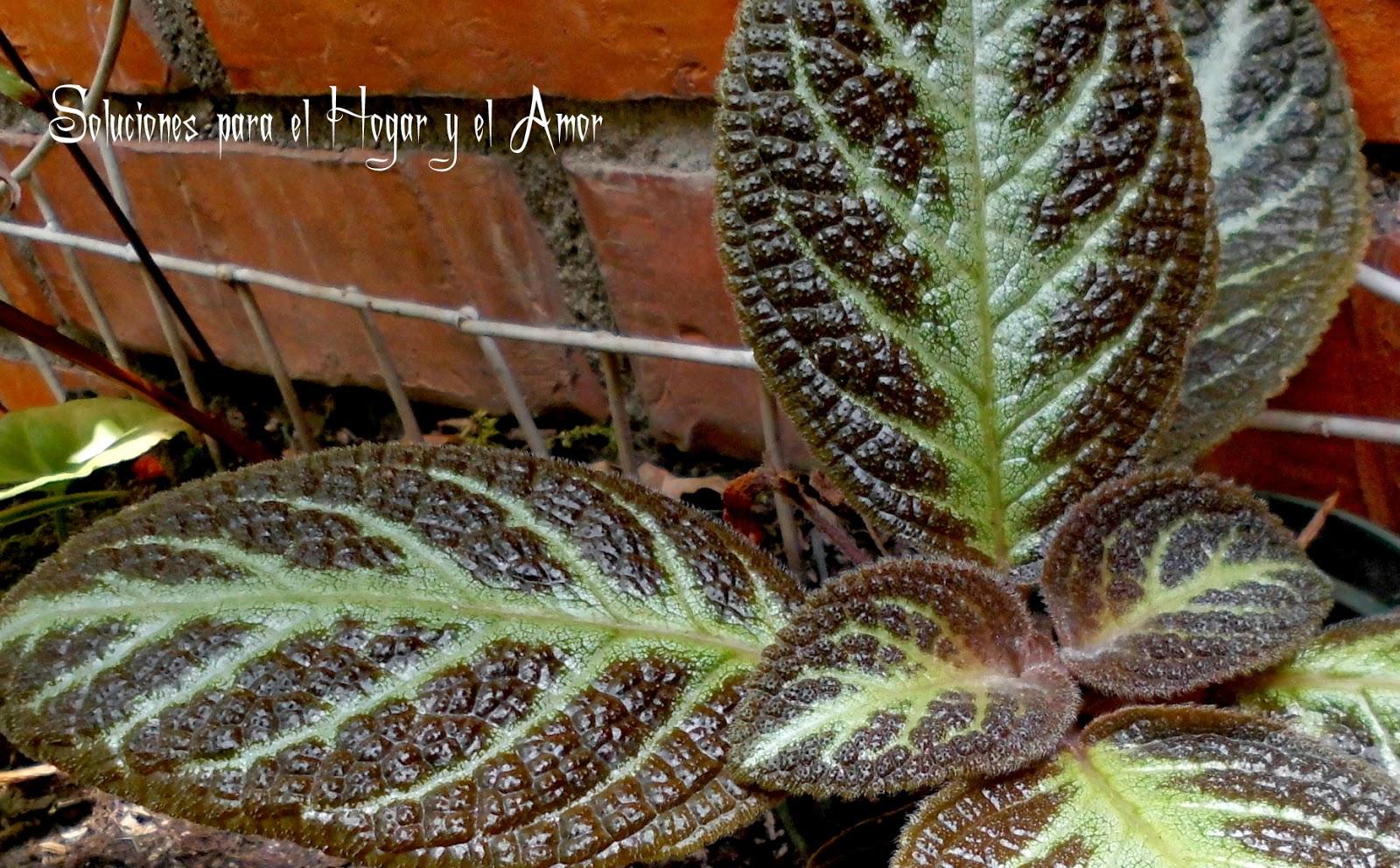 Planta Episcia, planta de flores rojas, hojas de planta brillo metálicas