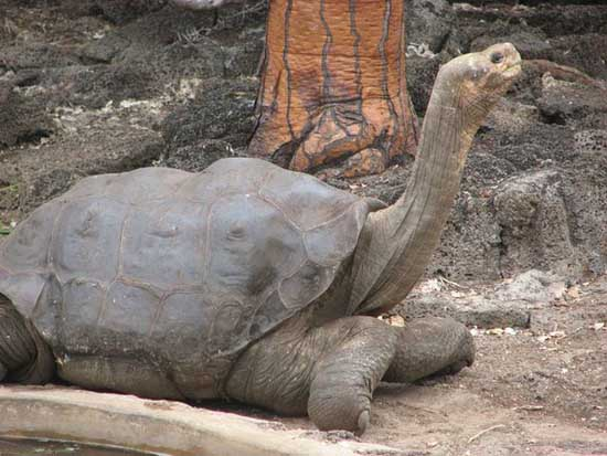 Most Amazing Recently Extinct Animals Pinta Island Tortoise