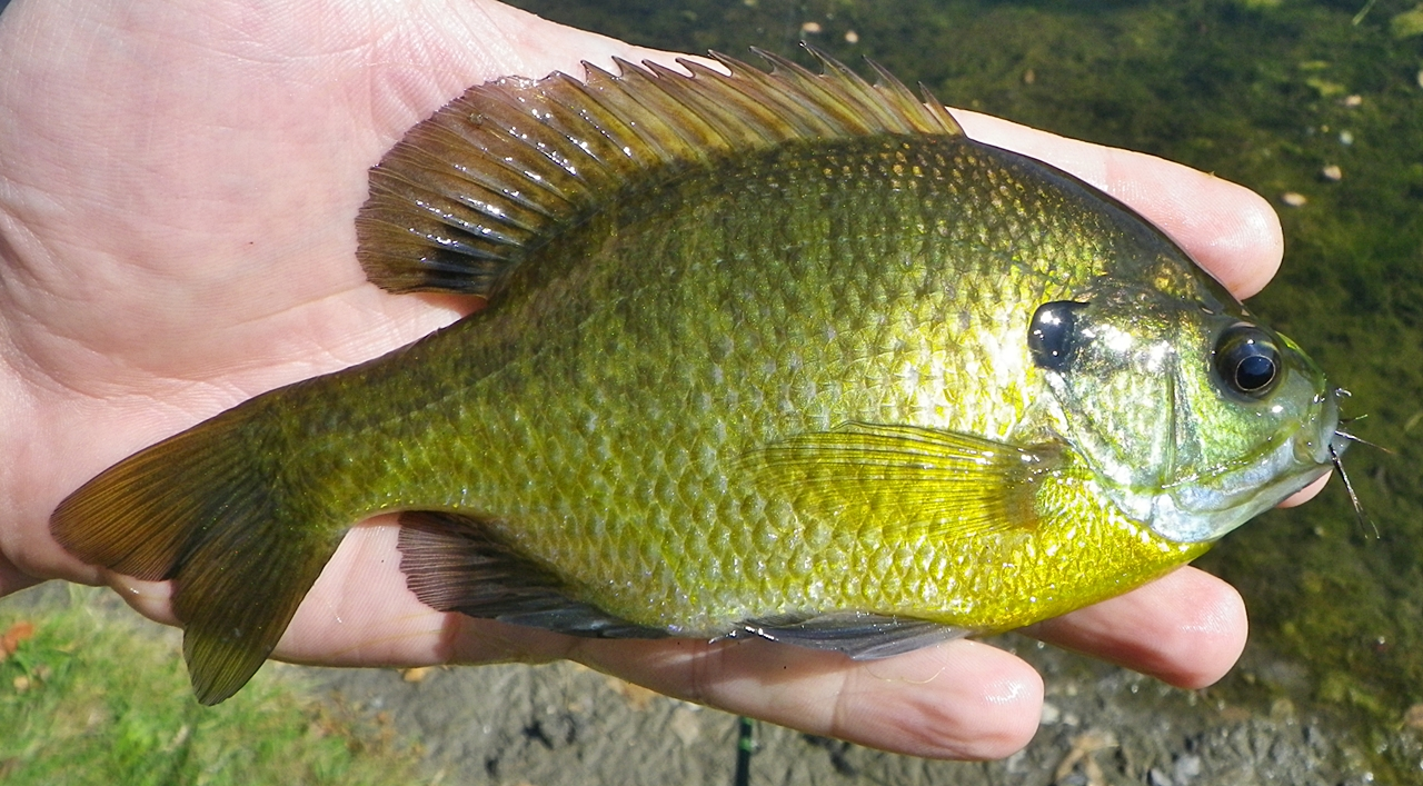 Displaying 20> Images For - Bluegill Fish...