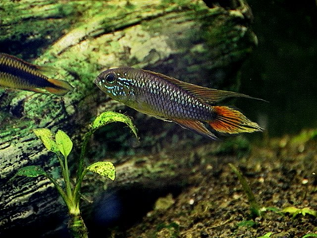 Fish Pictures: Agassizs dwarf cichlid - Apistogramma agassizii