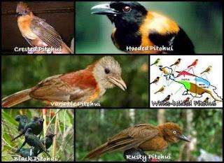 beberapa jenis burung pitohui