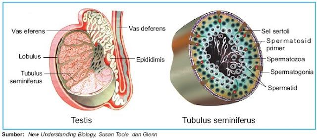 struktur anatomi bagian testis pria manusia