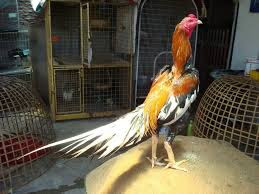 Ayam Bangkok Petarung