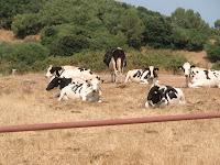 Vacas cerca de Cala Pilar
