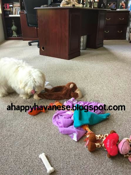 A Happy Havanese Blog
