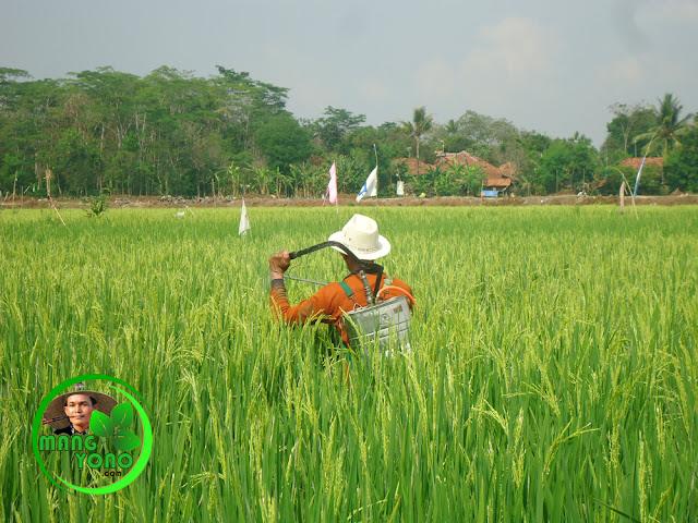Waktu untuk penyemprotan tanaman padi