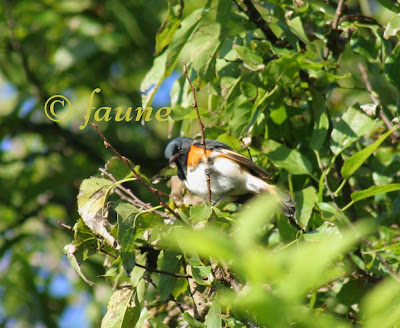 American Redstart Male in migration Currituck