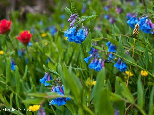 Bluebells near Cottonwood Lake, Crazy Mountains, Montana