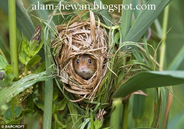 Seekor tikus sawah sedang bertengger di gandum