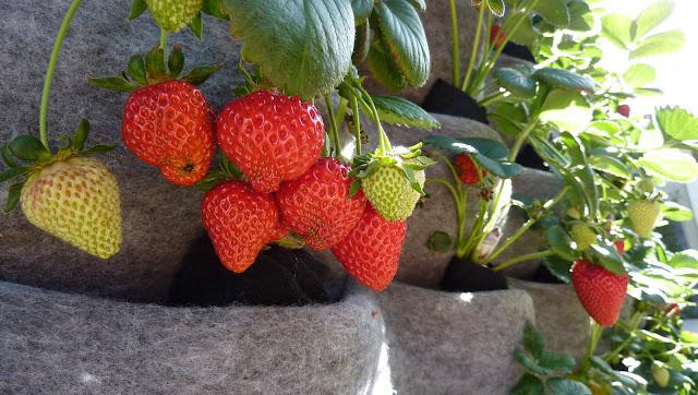 Strawberry Vertical Garden made with Florafelt Living Wall Planters - http://PlantsOnWalls.com