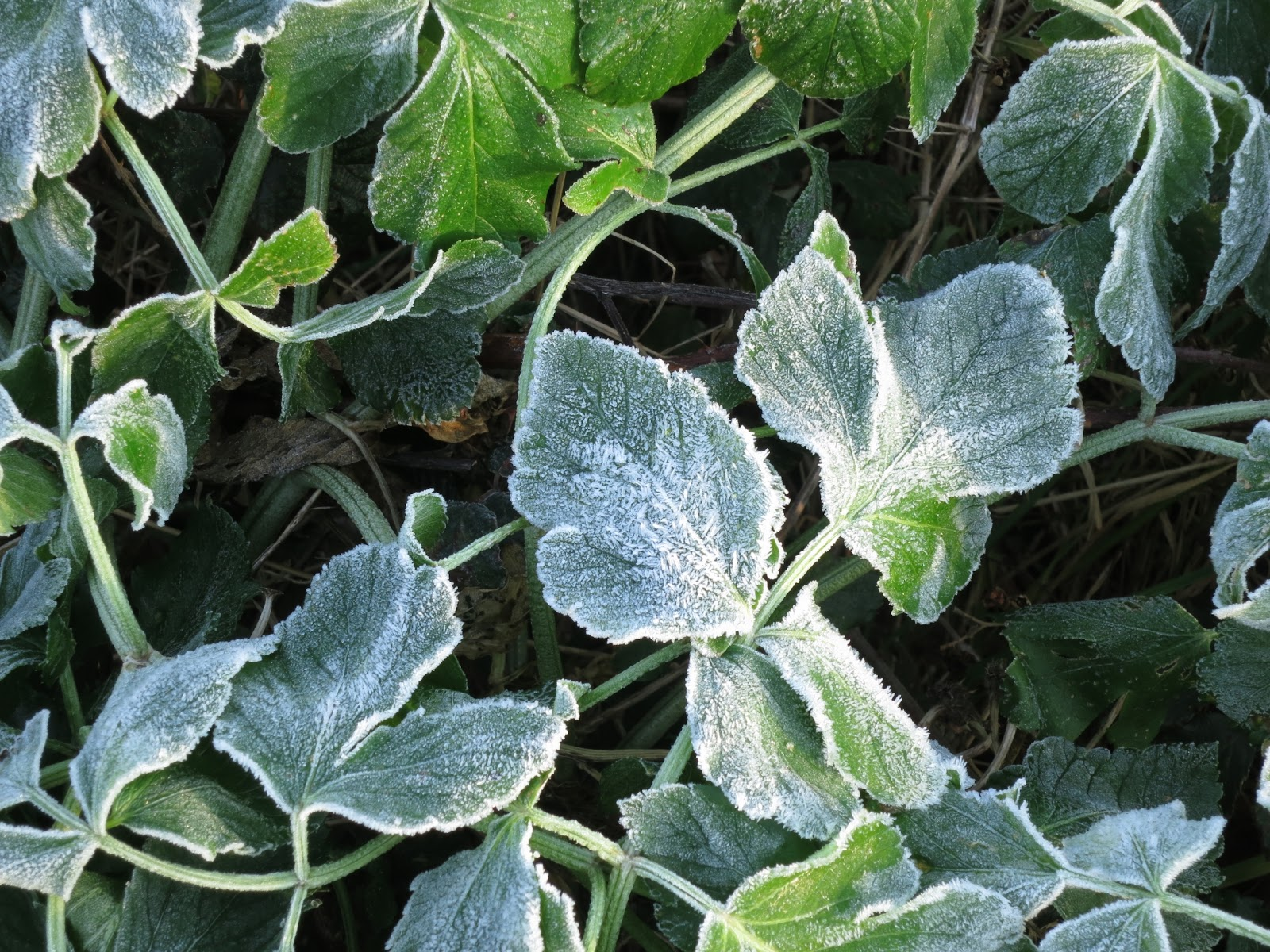 Alexander leaves close to with frost on.