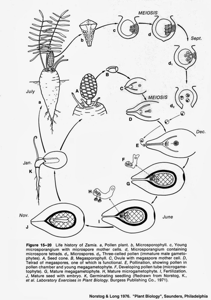 life cycle of cycas pdf
