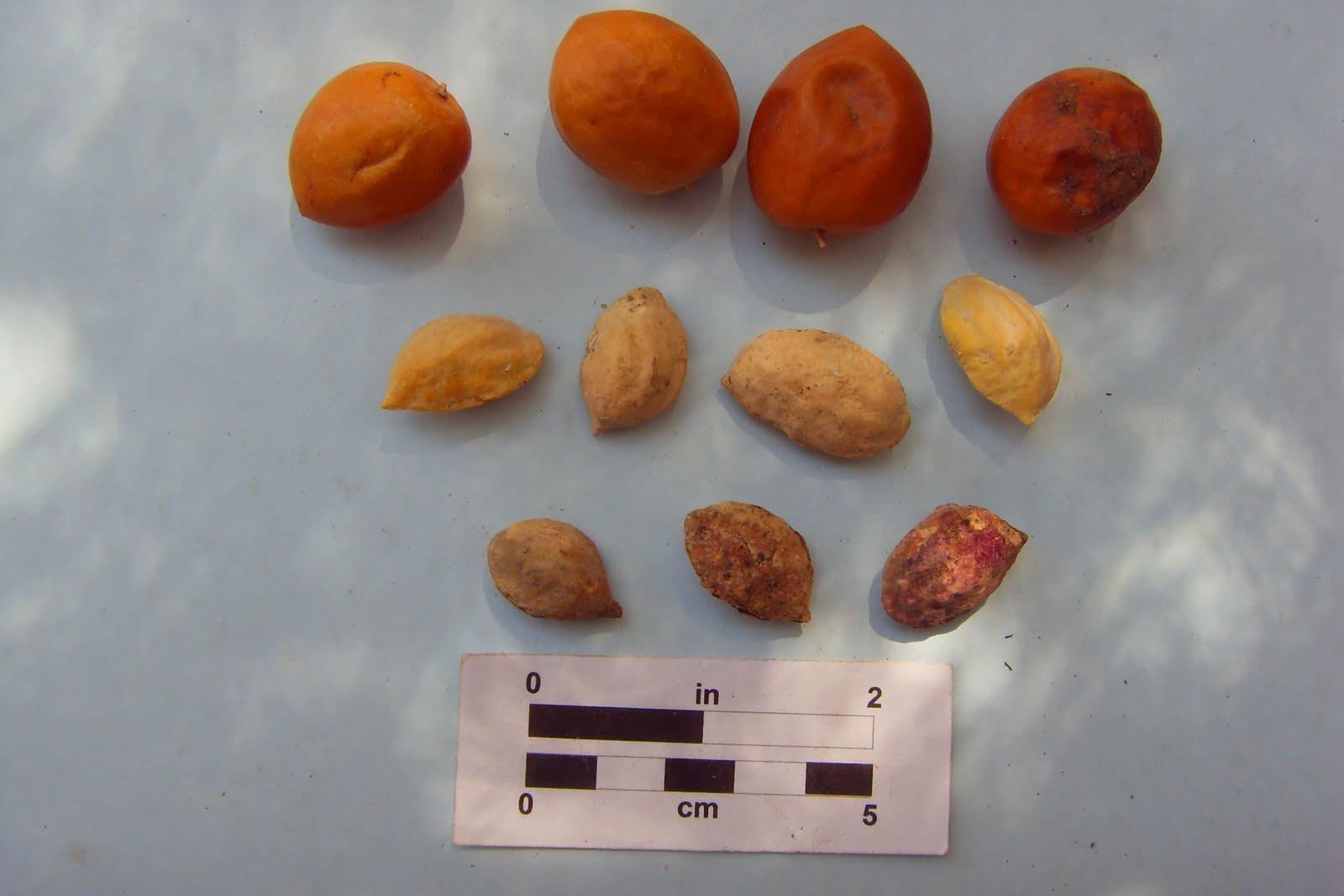 Eco antropolog a etnograf a y caracterizaci n bot nica - Semillas de hortensias ...