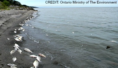 Dead Fish Wash up On Lake Erie Shore