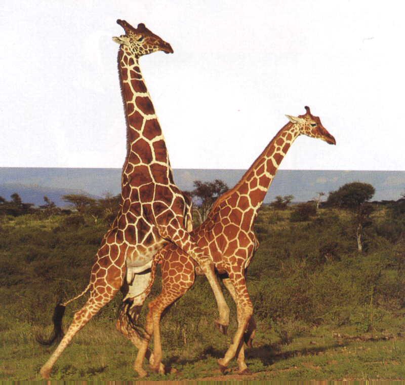 erect giraffe penis