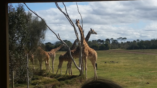 giraffes werribee open plains zoo sanctuary