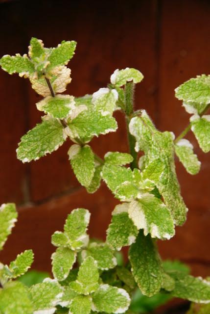 Fresh Mint Plant