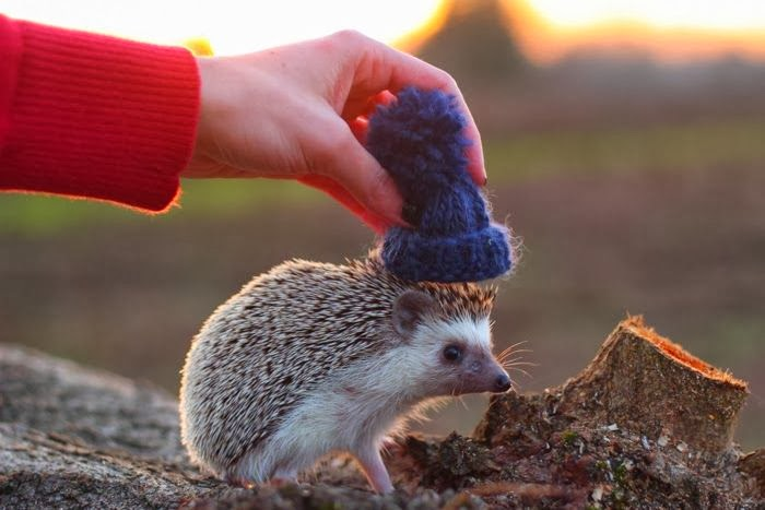 Funny animals of the week - 31 January 2014 (40 pics), hedgehog wears hat