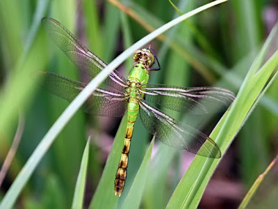 Common Pondhawk Dragonfly