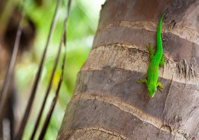 Grüner Gecko an einer Palme