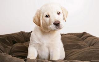 Puppy Dog Labrador HD Wallpaper