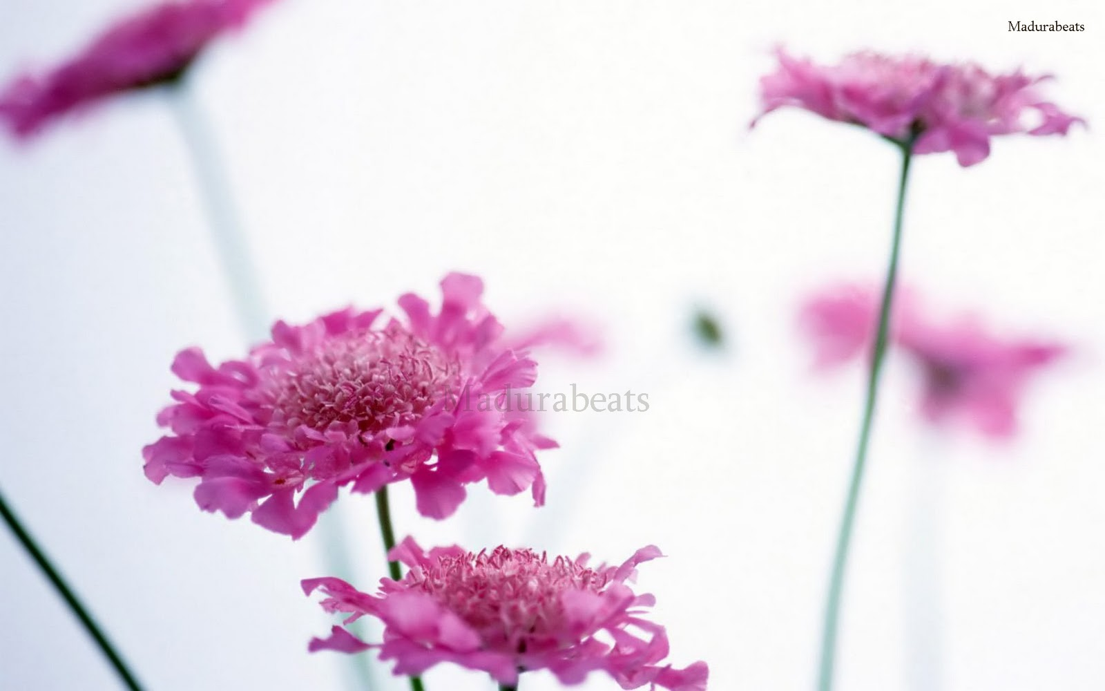 Wildflowers pink flower White background,Flower images, Wide screen wallpapers,fresh flowers,Beautiful flowers