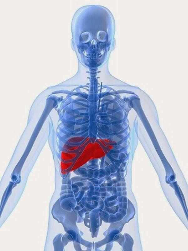 Human anatomy liver location