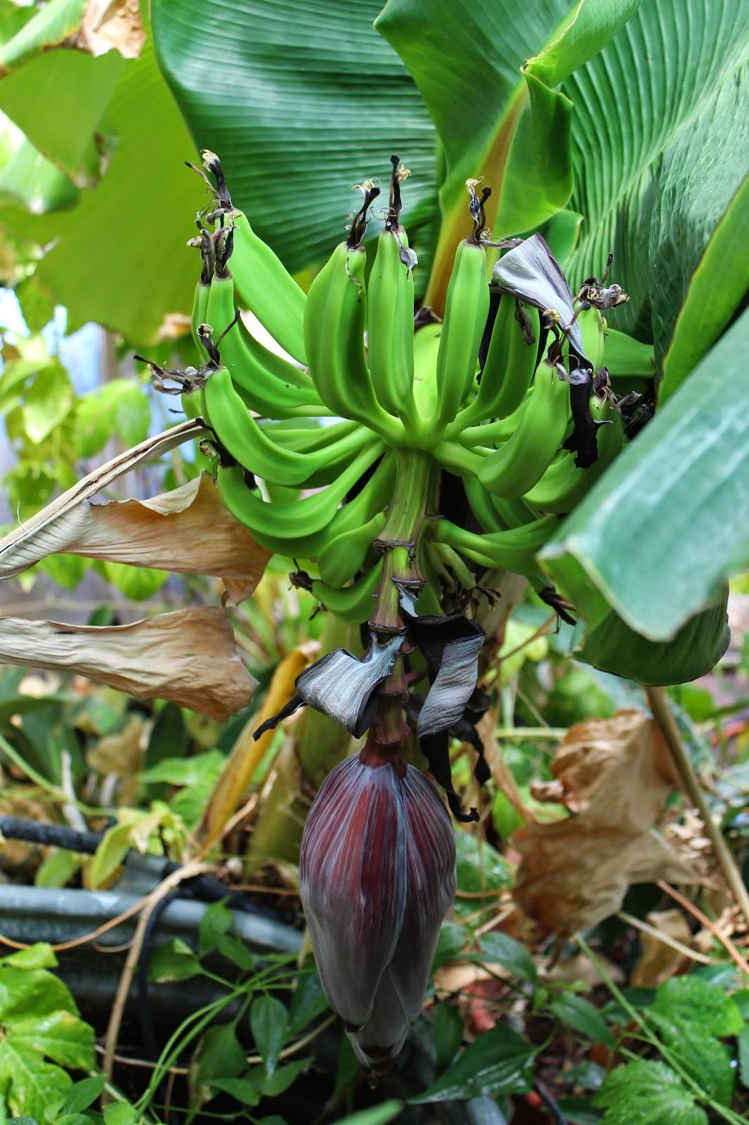 Edible Tropicals How to Propagate Bananas