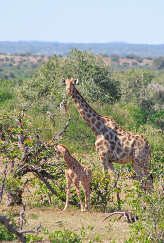Safari Fusion blog | Happy Mother's Day | Giraffe with her youngster, Mashatu Game Reserve Botswana © Kellie Shearwood