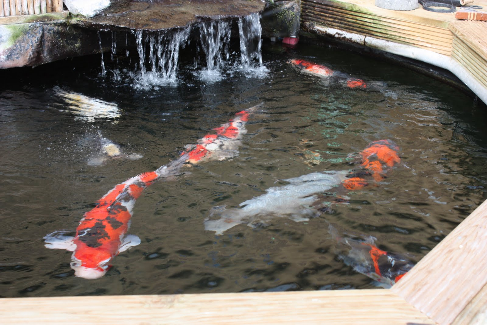 East yorkshire koi society for Round koi pond