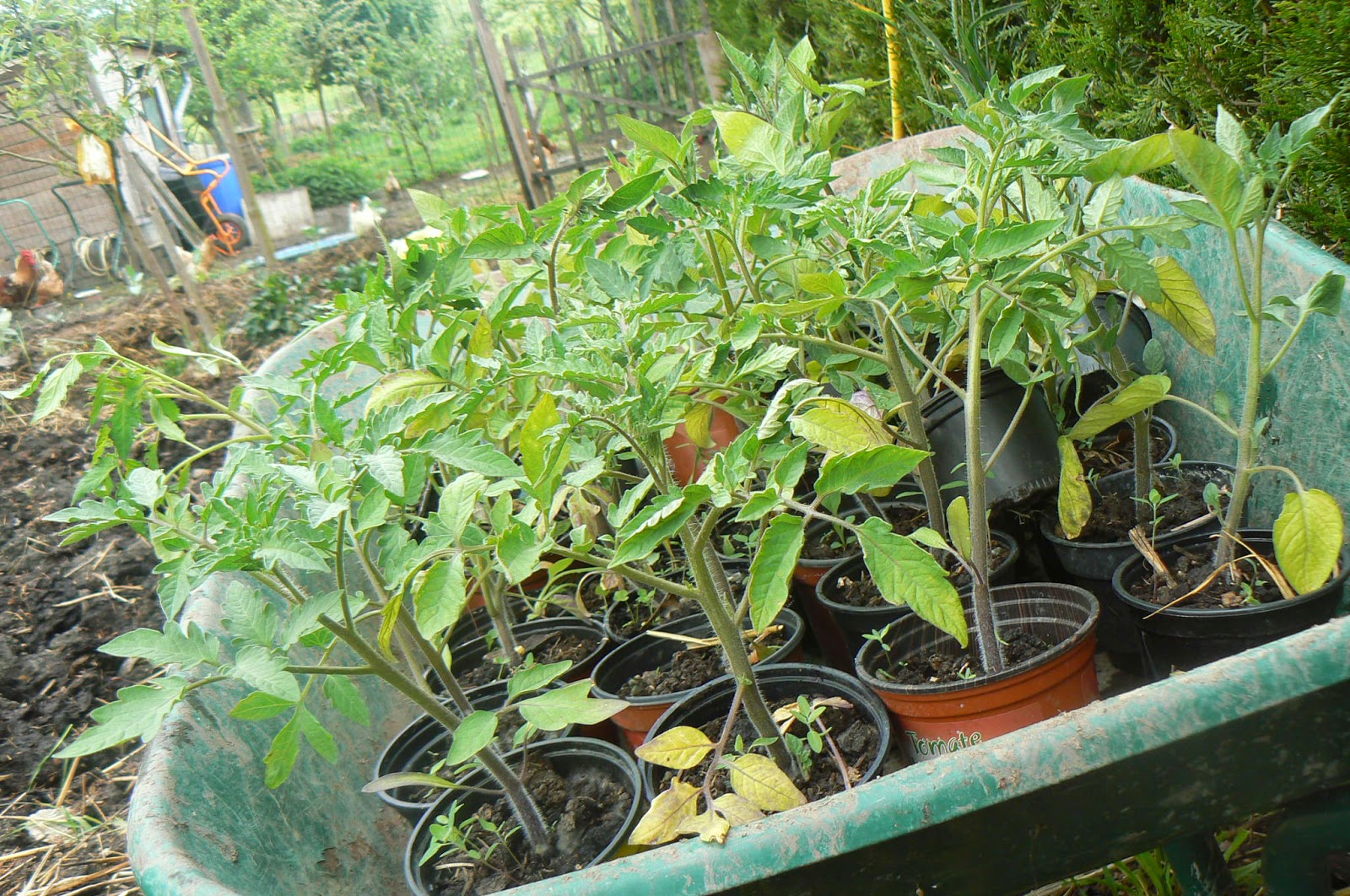 Les yeux les pieds sur ga a plantation de tomates - Plantation de tomates ...