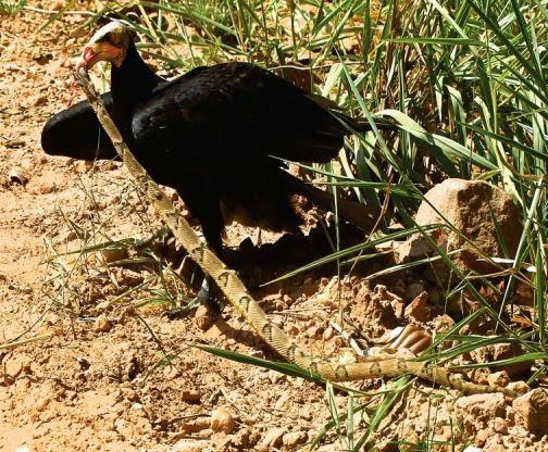 Urubu-da-cabeça-amarela-predando-uma-serpente
