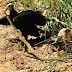 Predação de serpente venenosa por urubus