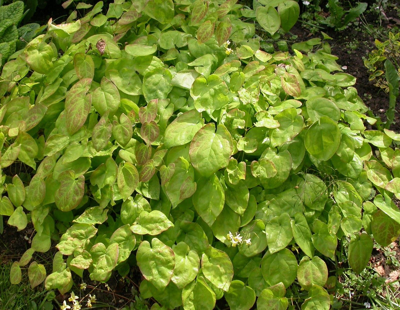 bispehue plante