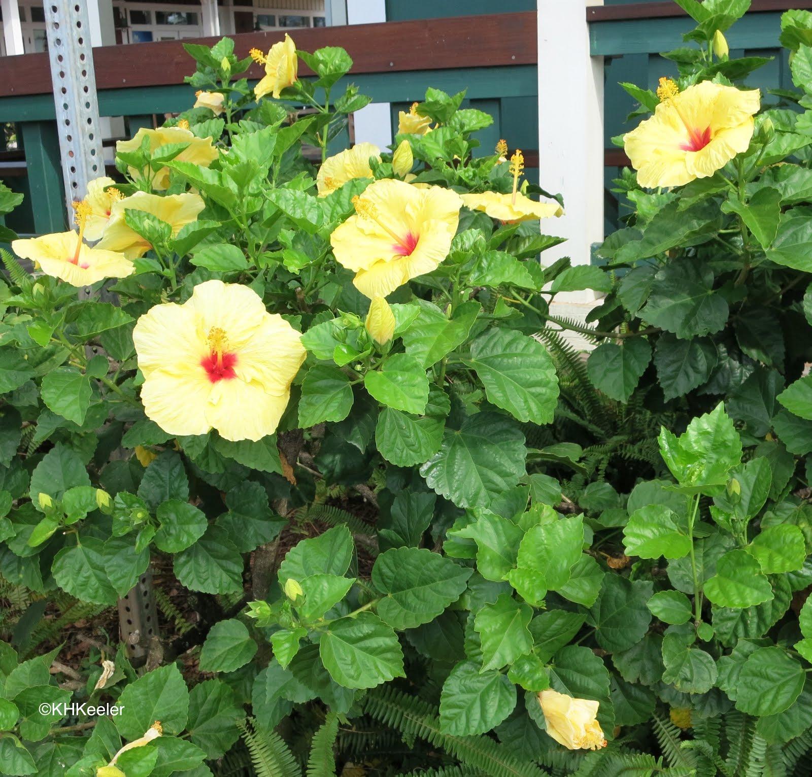 A wandering botanist plant story hibiscus hibiscus rosa sinensis izmirmasajfo