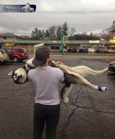 funny animals husky dog