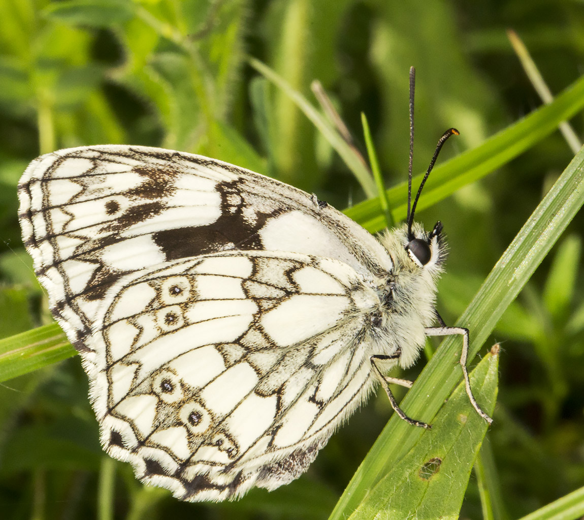 Marbled White, Melanargia galathea.  Downe Bank, 12 June 2014.